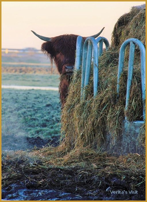 A Highlander playing peekaboo in #Dutch #winter. #countryside http://veritasvisit.nl