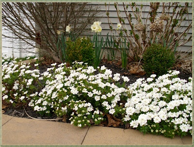 The Shed | Candytuft: an easy year-round garden beauty. This is a perennial evergreen that reseeds itself. Perfect for low-maintenance beds.
