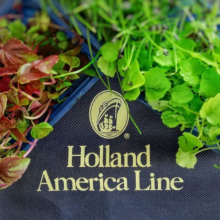 Koppert Cress appearing on Holland America Lines new ship Koningsdam at their Culinary Arts Centre. The cress are grown onboard! You can't get fresher than that! #cruiserevolution  #cruise  @halcruises #travel #food