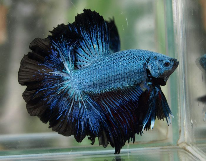 Black Green Lace ( Full mask ) Siamese Fighting Fish
