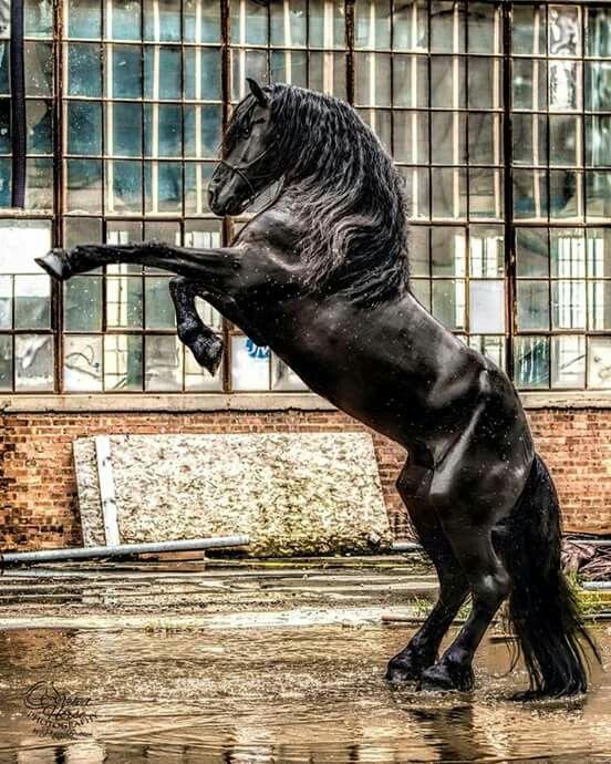 Friesian stallion Dulci Vita