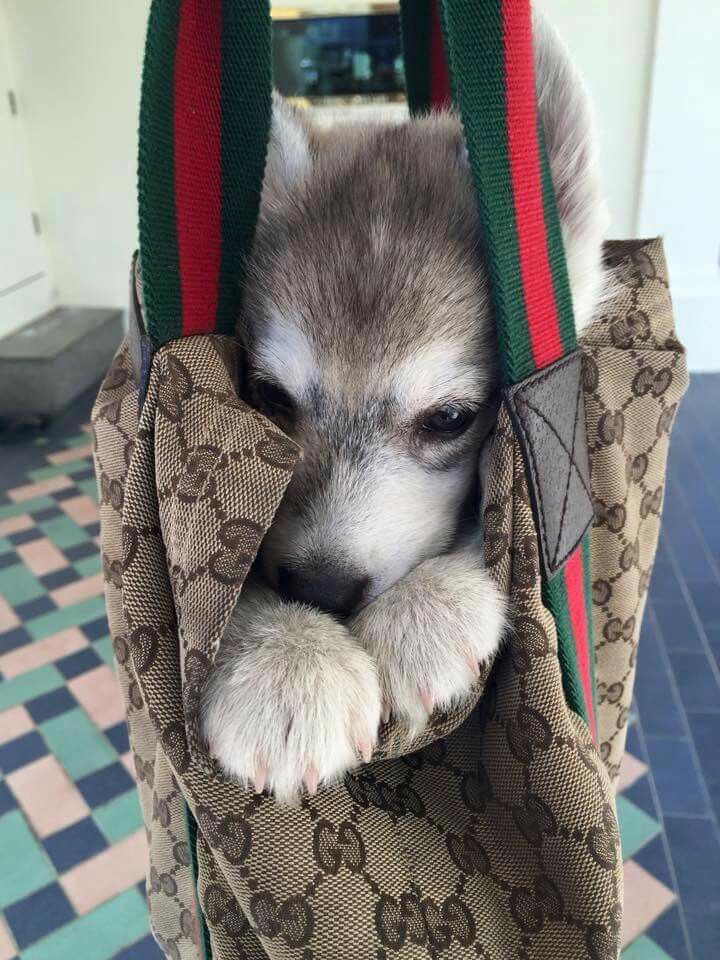 298 Best Images About Husky Mania On Pinterest Beautiful