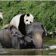 Oh, das ist sooo süß. Der Elefant hat überhaupt keine Angst. Es ist erstaunlich, …   – Must love elephants