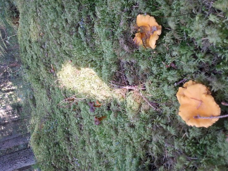 Chanterelle mushrooms in #Färna
