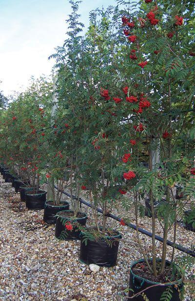 Best 25 drought tolerant trees ideas on pinterest drought tolerant shrubs drought tolerant - Fastest growing ornamental trees ...