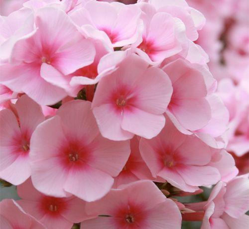 Soft Pink Phlox Light Flowerspeach