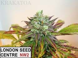 FEATURED IN THE NEW CANNABIS SATIVA VOL2 BY GREEN CANDY PRESS (release march2013)......................... we took a nice female fruit loop haze from our brother krip keeper stock and crossed it with our beautiful Mau-Mau dad, the result is mouth watering, krakatoa flowers in only 9 weeks, with an average/good yield with AA grade quality smoke. the smoke is very fruity (grapefruit/mango/lemon), once dried and properly cured, krakatoa will soon become your favorite jar to choose from .