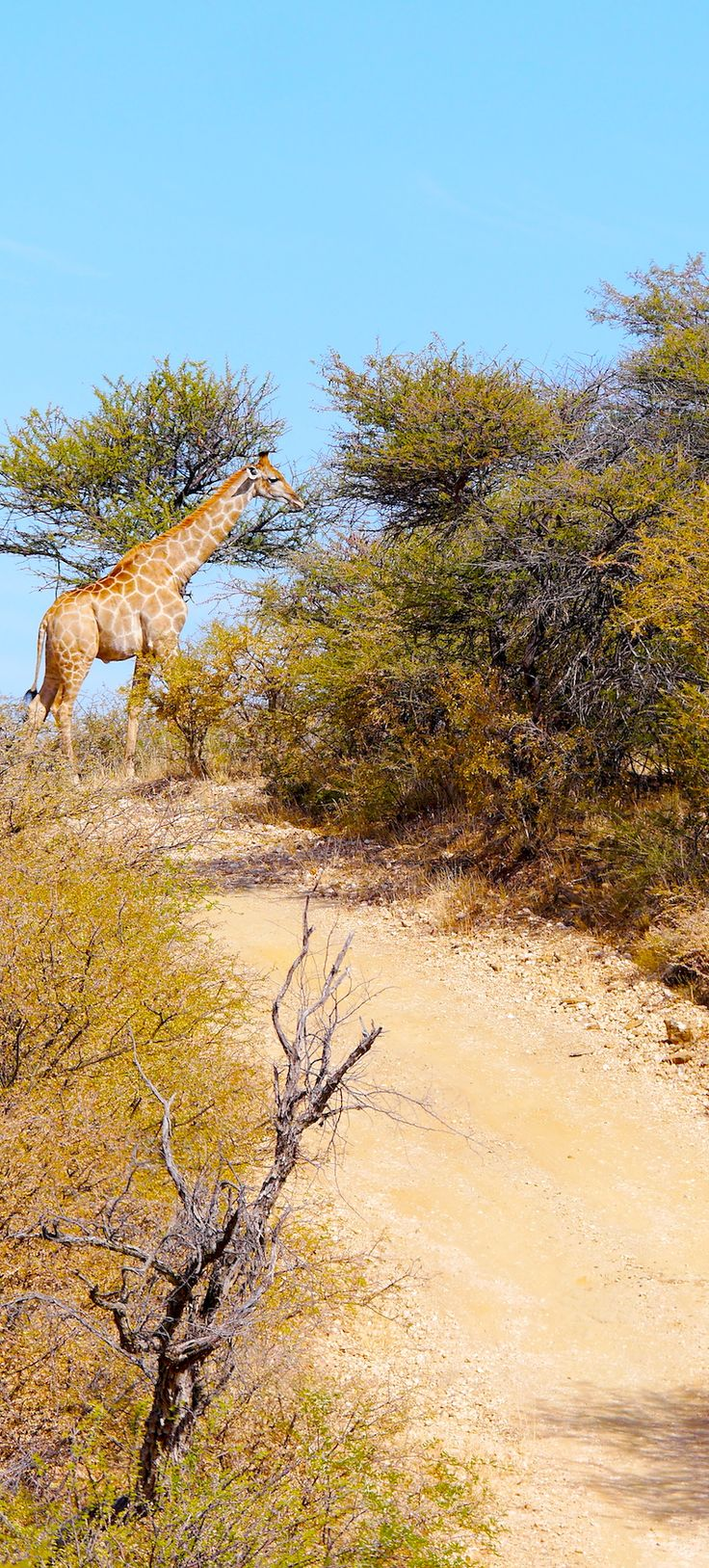 Giraffe Roadview , #Wildlife #travel #Namibia #Roadtrips