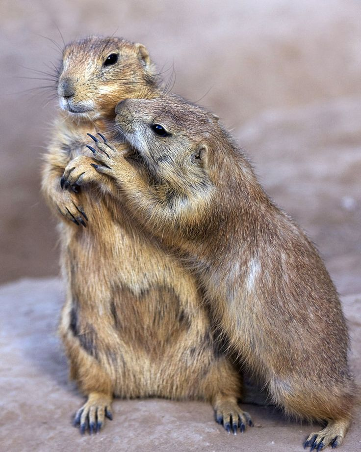Heart Shaped Spot by Sue Cullumber   Prairie Dogs at the Phoenix Zoo - heart is natural!