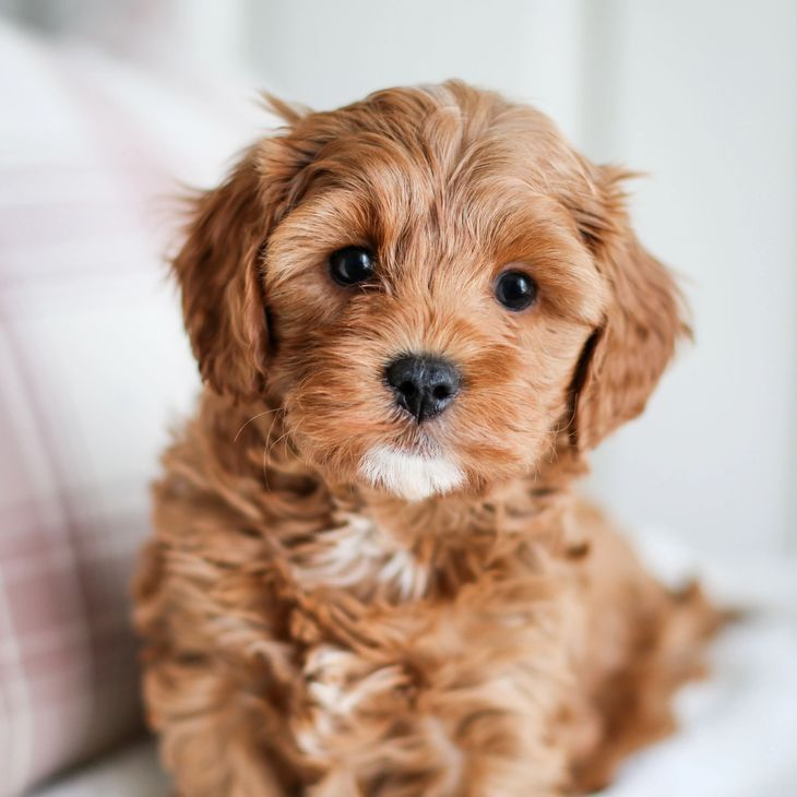 Cavapoo Puppies For Sale Golden Valley Puppies Cavapoo Puppies King Charles Cavalier Mix Poodle Mix In 2020 Cavapoo Puppies Cute Dogs And Puppies Havapoo Puppies