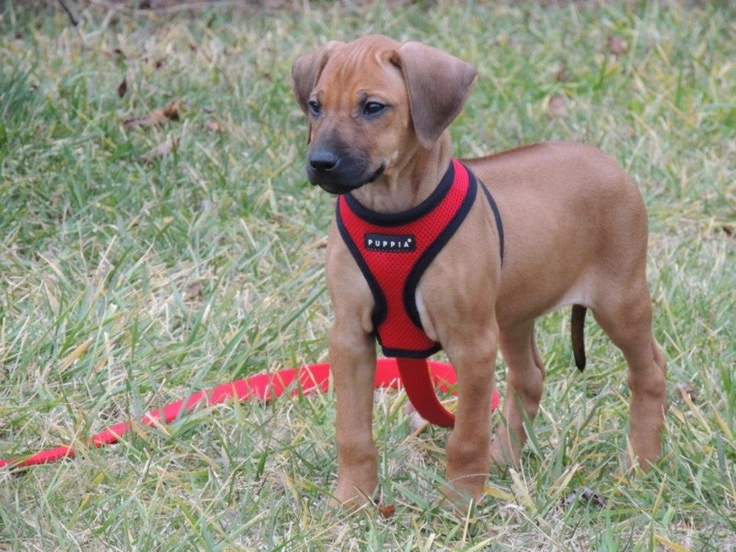Hope My 8 Week Old Rhodesian Ridgeback Puppy Ridgeback