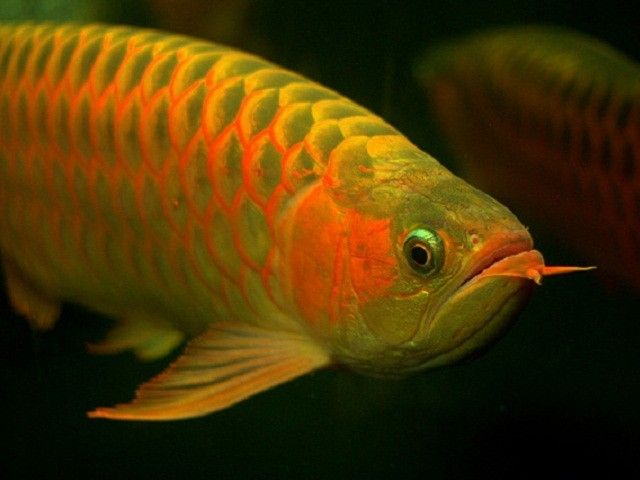 17 best images about fish and aquariums on pinterest for Alabama freshwater fish
