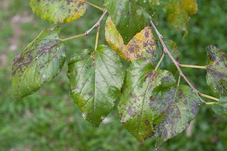 葉っぱや花、果実などに黒ずみや黒い斑点が現れていたら「すす病」かもしれません。植物がかかりやすい病気の1つで、光合成ができなくなって植物が枯れる原因になります。大切な草花を守るために、すす病の原因と対策、予防法をご説明します。 すす病とは?何が原因なの? すす病とは、すす病菌(糸状菌というカビ)が植物の上で増
