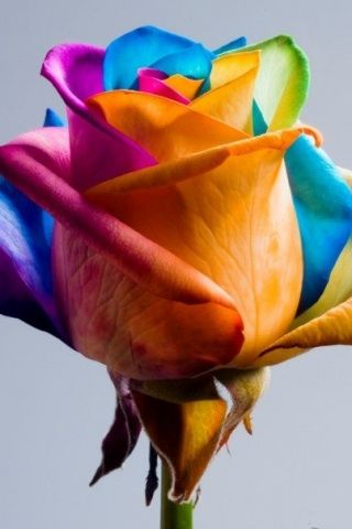 Rainbow Coloured Rose Android Wallpaper HD