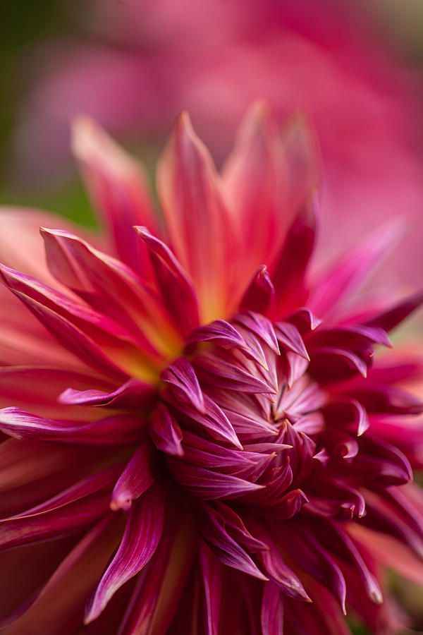 Dahlia - These remind me of my Grandpa.  He replanted the same Dahlia seeds for 30 years :')