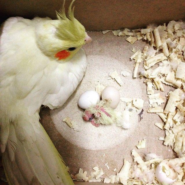 Tem filhotinho no ninho! É lindo observar o instinto protetor da mamãe e do papai! E entre eles não tem dessa de a fêmea fazer tudo sozinha... O macho cuida, alimenta, esquenta e protege os filhotes (antes mesmo de nascer) #cockatiel #calopsita #ninhodepassarinho #filhotedecalopsita #pet