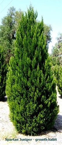 Juniper - Spartan: 12-15' tall, 3-3.5' wide.  Full Sun