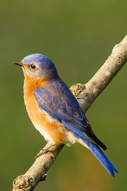 Eastern Bluebird by alextbaum, via Flickr