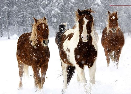 Vista Verde Ranch, Steamboat Springs, Colorado -- Horses running winter snow by vistaverderanch, via Flickr
