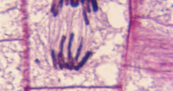 O papel dos microtúbulos na divisão celular. A célula é uma estrutura fechada por uma membrana que serve como corpo para alguns organismos e uma unidade fundamental do tecido do corpo de outros organismos. Enquanto muitas criaturas, como as bactérias, são compostas de apenas uma célula, o corpo humano adulto é composto de aproximadamente 100 trilhões de células. A divisão celular é o ...