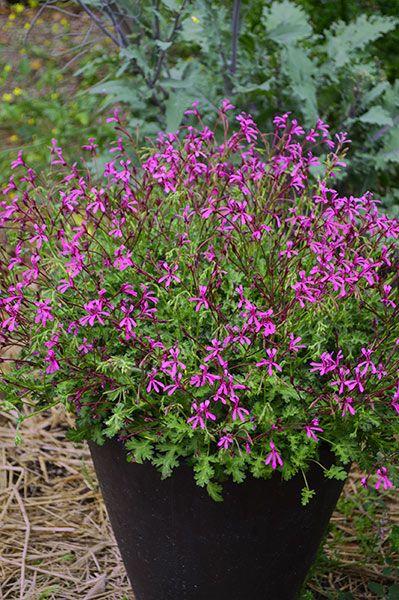Pelargonium Fairy Pink