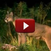 Spend just eight minutes and learn little known facts about the fascinating mountain lion.  Get a glimpse of how a mountain lion thinks, feels, and senses. What makes the mountain lion so adaptable to a wide variety of habitats?  How does their hunting differ from that of wolves and bears?  What is their relationship to the ecosystem?