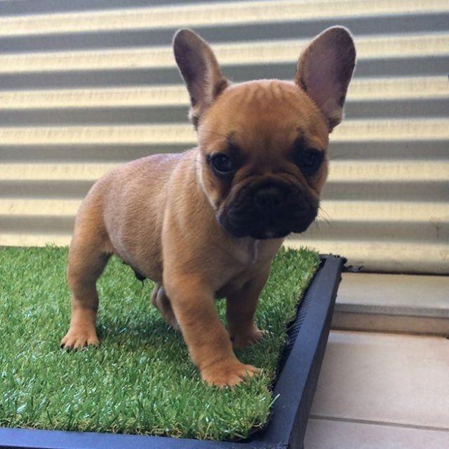 Guess Who Frenchbulldog Frenchie Igbulldogs Dogsofinstagram Igpets Henleythefrenchie Sydney In 2020 French Bulldog Puppies French Bulldog Boxer And Baby