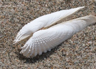 Angel Wings ~ A Deep Water Shell                                                                                                                                                                                 More
