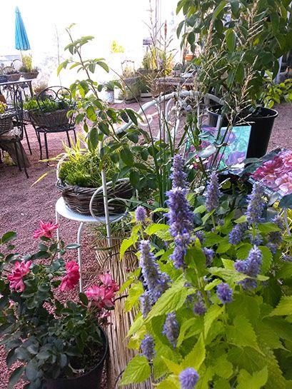 """plantes vivaces """"Les Jardins des Hurlevents """" http://www.plantes-vivaces-hurlevents.com/"""