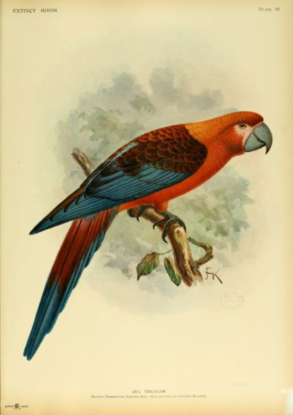 The Cuban Red Macaw, Ara tricolor, is an extinct species of parrot that was native to Cuba and the Isla de la Juventud, an island off the coast of west Cuba. At about 45–50 centimetres (18–20 in) long it was one of the smaller members of the Ara genus of macaws. It was the last species of macaw native to the Caribbean islands to go extinct.
