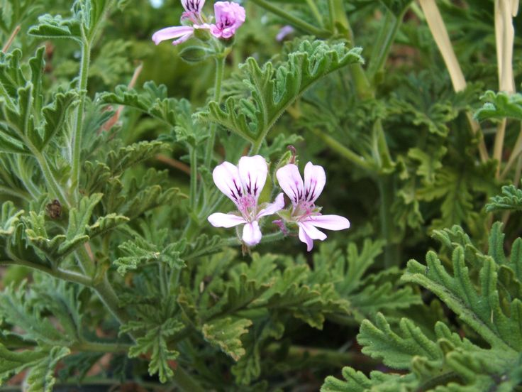 P. graveolens (odoroso)