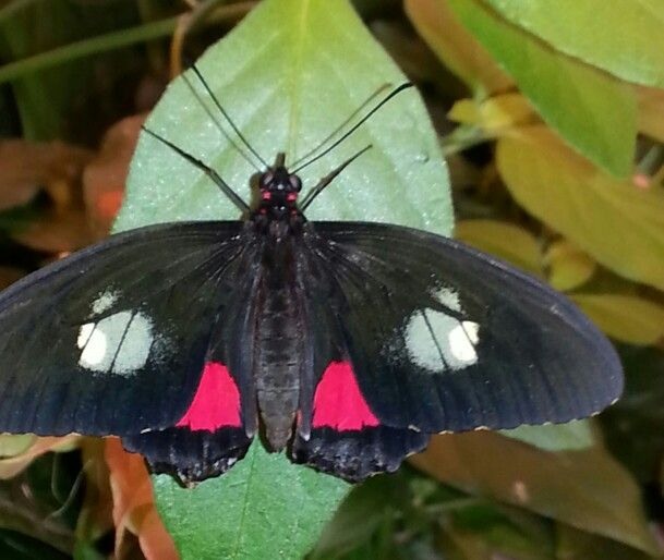 rainforest butterfly, life span is 3 weeks