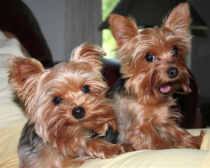 Puppies For Sale And Adoption In Ohio | Maltese, Havanese