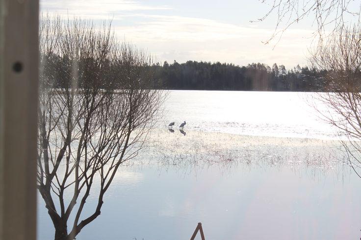 #joutsenet tulevat  #kevät #luonto #Puruvesi  #Punkaharju #Suomi #houseforsale #Finland    #spring