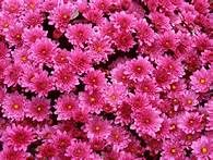 pink flowers pictures - Bing Images