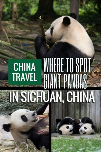 Where can you go and see the lovely Giant Pandas in Sichuan China? We tell you everything about the different sanctuaries in the area.