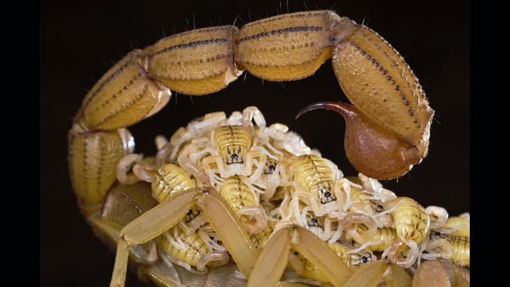 Protectora y premiada madre de escorpiones.