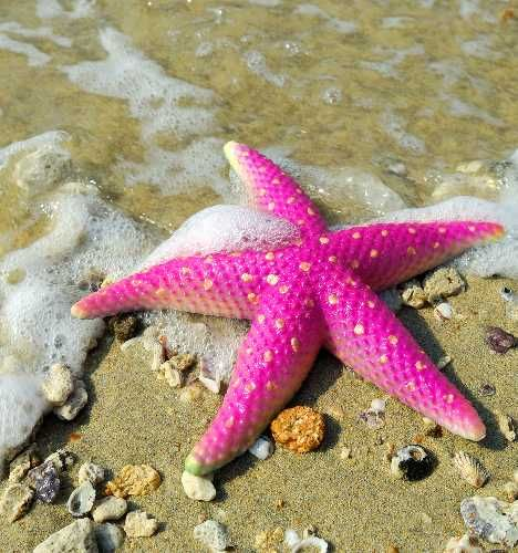 "Star Fish: ""Slow-moving creatures who frequent reef environments and occasionally feast on endangered corals, starfish are often washed up on beaches where their brilliant hues quickly fade."""