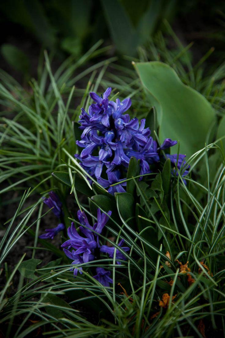 #Hyacinth