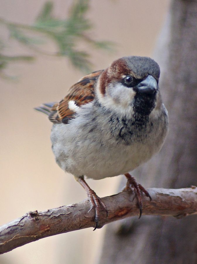 25+ best ideas about House Sparrow on Pinterest | Sparrows ...