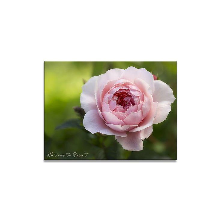 Rosenbild: Rose Whisley an Schokominze