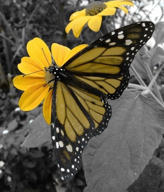 les 57 meilleures images propos de jolie fleur de papillon sur pinterest ailes de poulet. Black Bedroom Furniture Sets. Home Design Ideas