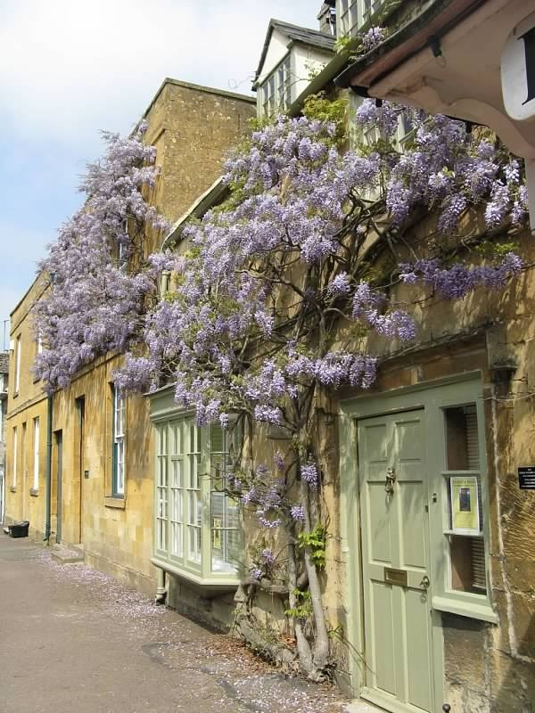 Cotswold cottage and wisteria