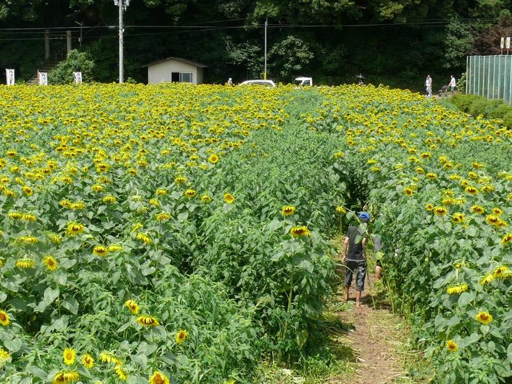 春日地域 ひまわり畑