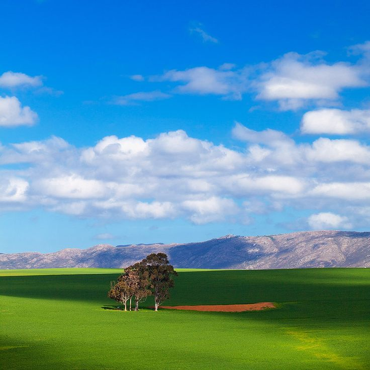 Overberg Farmland Gum Tree Landscape | Overberg Farmlands, Western Cape, South Africa