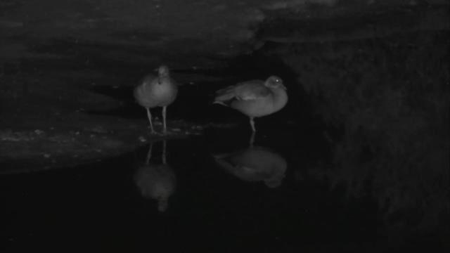 Africam.com, nkorho lodge, 2 esemplari di oca egiziana (alopochen aegyptiaca) fotografati alle 22:57 (ora locale) il giorno 19/1/2017