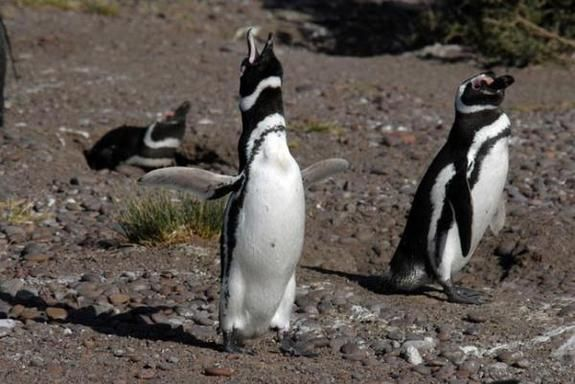 Photos of Flightless Birds: All 18 Penguin Species.  Magallanics.