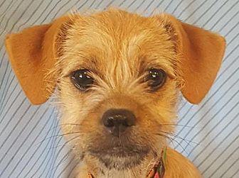 Brattleboro, VT - Parson Russell Terrier Mix. Meet Ginny, a puppy for adoption. http://www.adoptapet.com/pet/19101452-brattleboro-vermont-parson-russell-terrier-mix