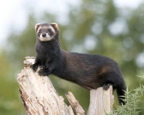 European Polecat | European Polecat – Mustela putorius - Ground Mammals