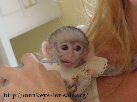 Capuchin monkeys for sale can easily be found, as this species is one of the most preferred amongst primates that can be kept as pets. And if you are planning to buy one, then you must read this to know everything about capuchin monkeys.